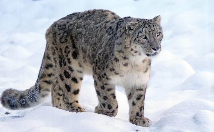 Tierschutz – Schneeleoparten schützen
